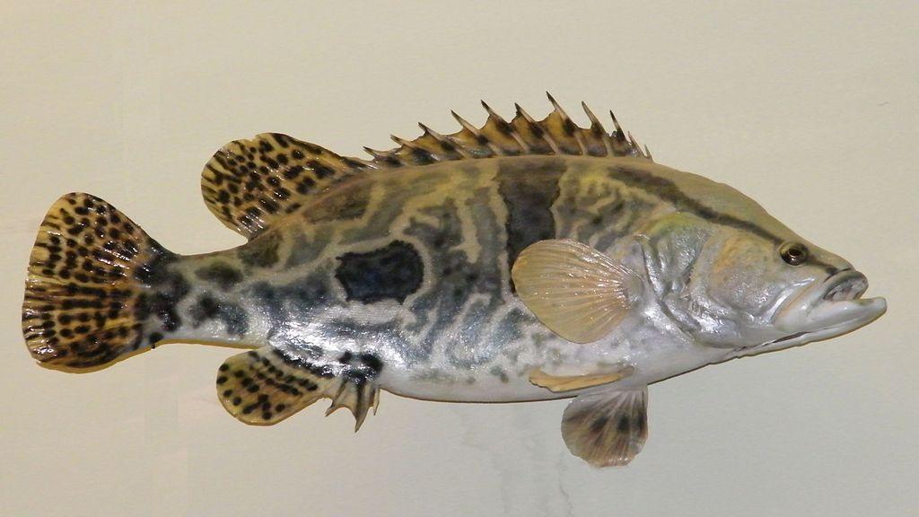 鳜鱼-桂鱼2.jpg