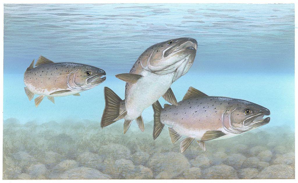 Atlantic_salmon_Atlantic_fish_大西洋鲑鱼是数量最庞大的鲑鱼.jpg