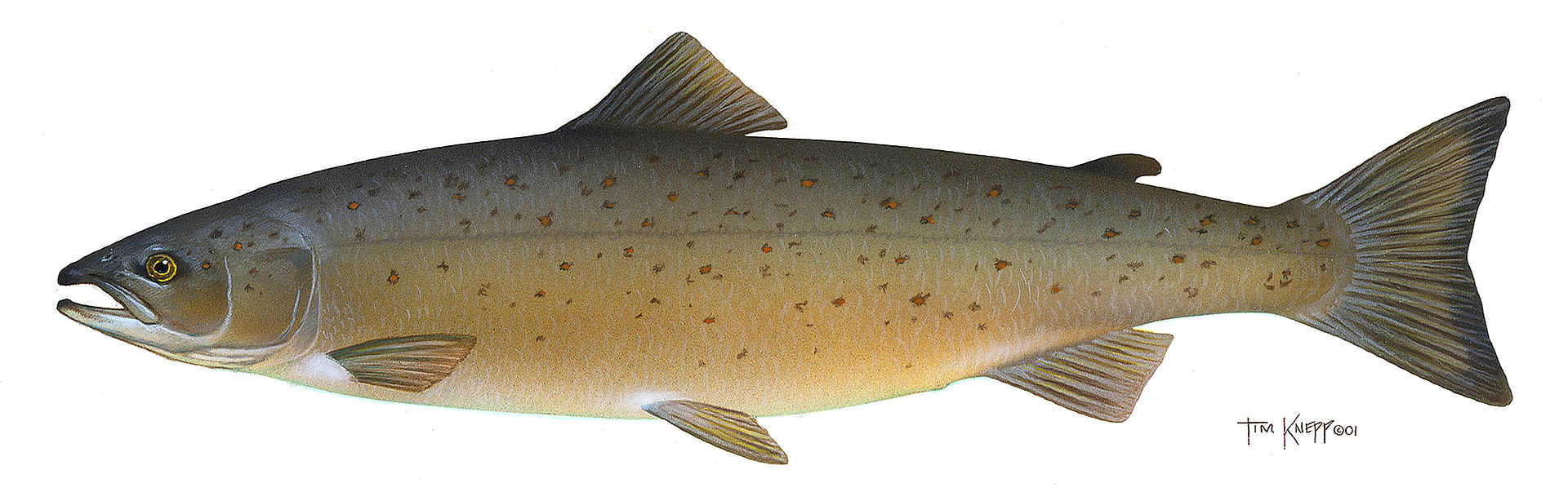 大西洋鲑 Salmo_salar_(crop),鲑鱼的常见种类之一.jpg