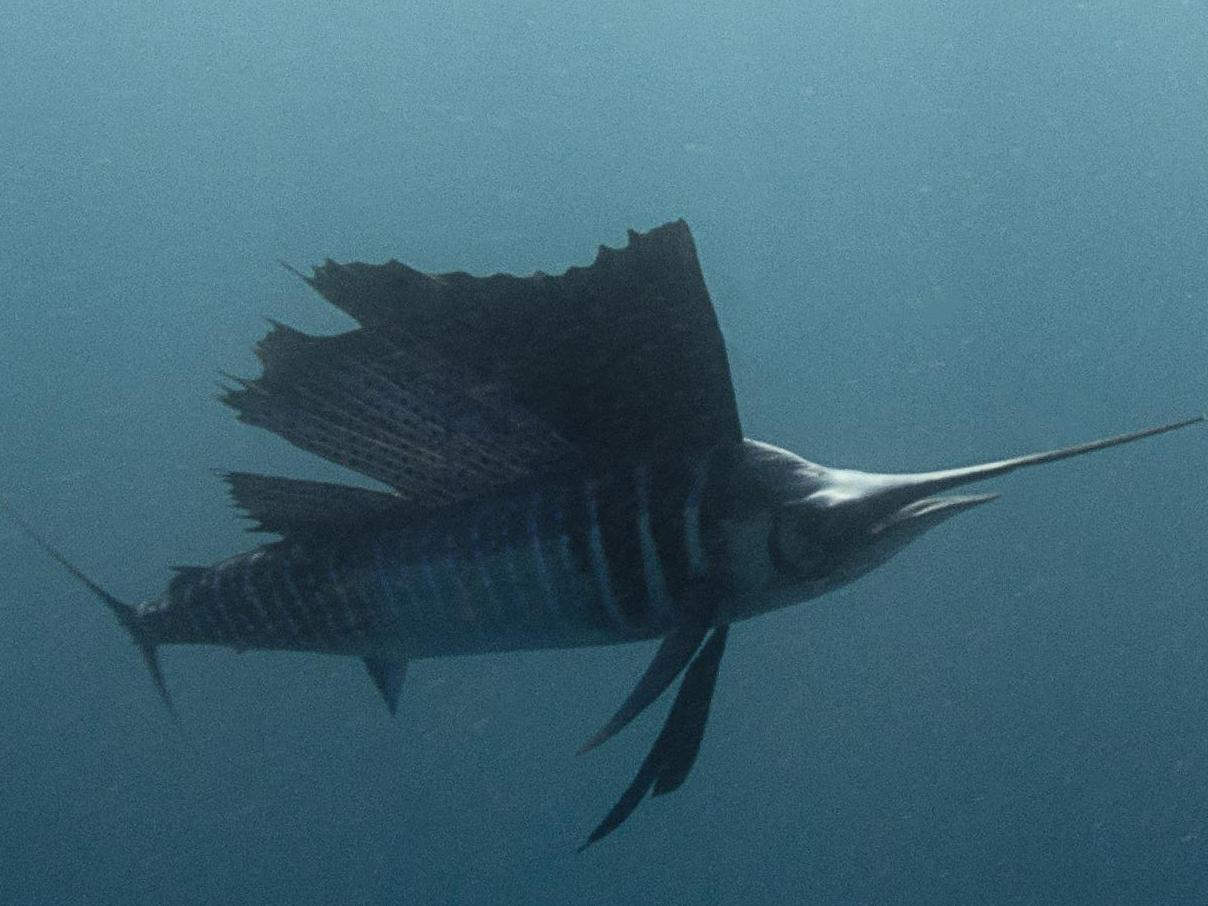initial sailfish 3 1