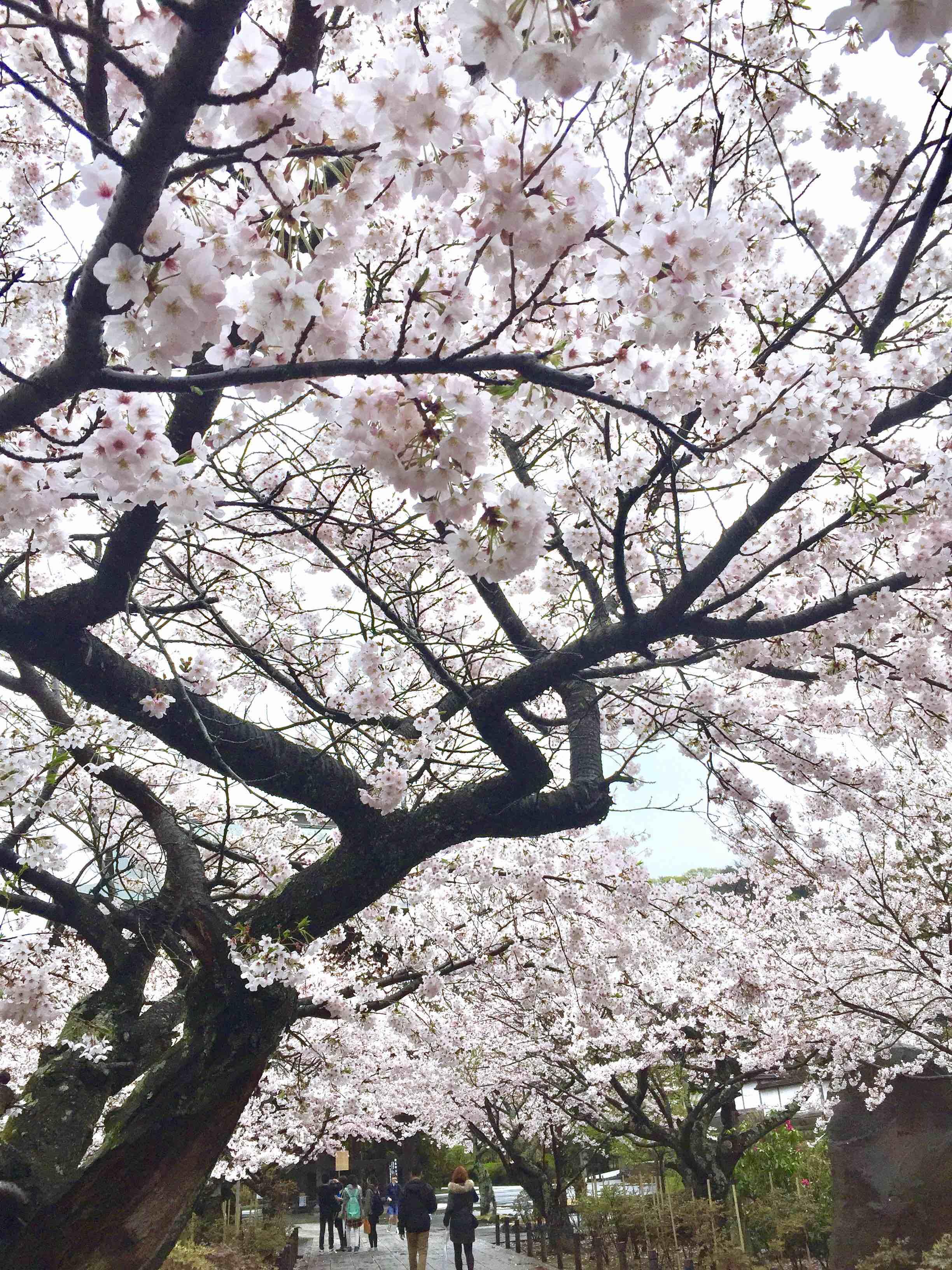 樱花季的建长寺