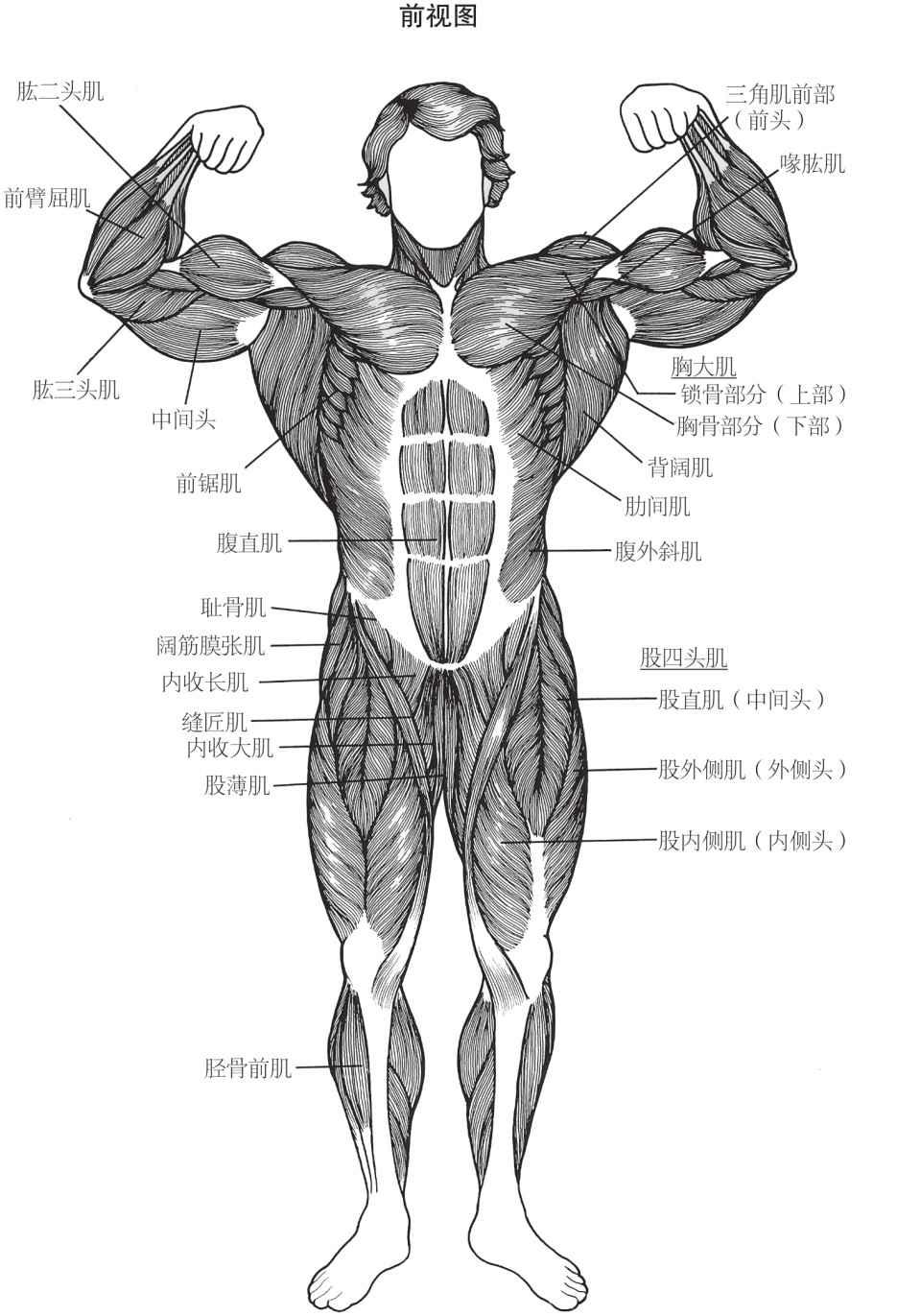 人体肌肉群正视图