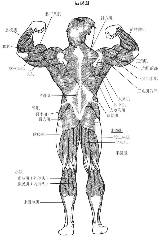 人体肌肉群后视图