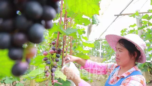 黔南长顺3万多亩紫王葡萄即将丰收上市