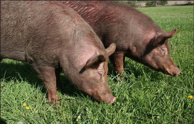 怎样给病猪灌药?病猪灌药有什么技巧呢?