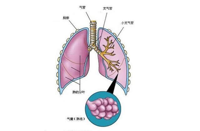 支气管炎常复发很难受,常吃此物,可改善可防复发
