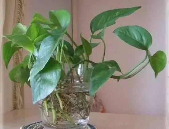 水培绿萝叶子发黄怎么办,四种方法让你的绿萝转危为安