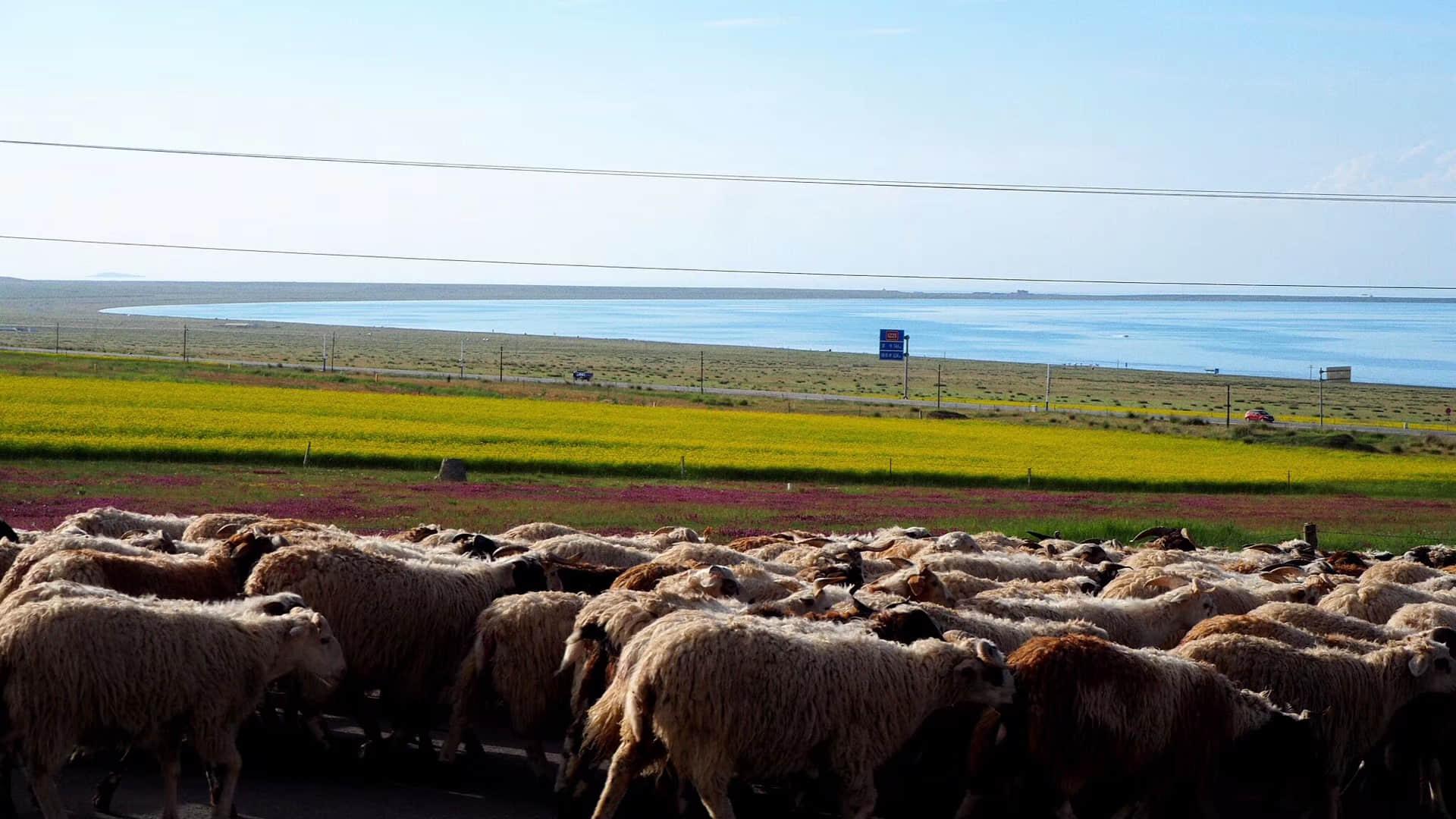 青海湖羊群.jpg