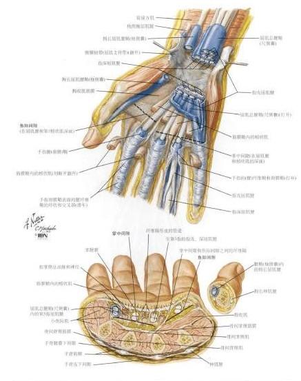 奈特人体解剖彩色图谱(第三版)