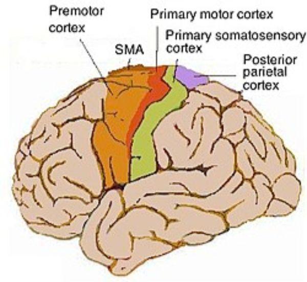 The illustration for the posterior parietal cortex.