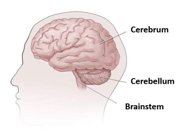major_brain_parts