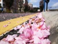 南实的樱花