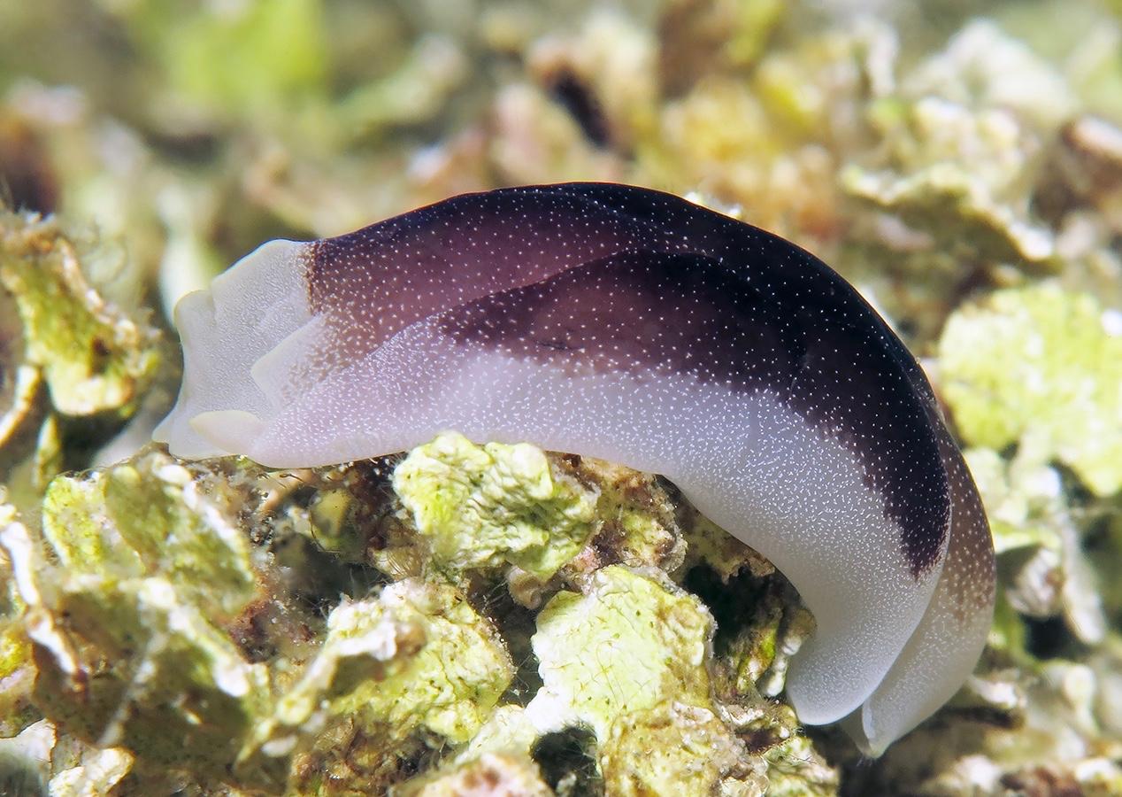 Chelidonura amoena     安汶 Ambon 印度尼西亚 Indonesia @lazydiving.com 潜水时光