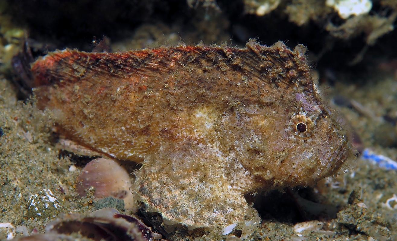 Cocotropus larvatus     安汶 Ambon 印度尼西亚 Indonesia @lazydiving.com 潜水时光