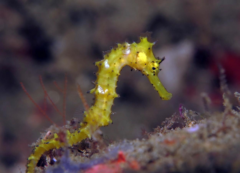 Hippocampus histrix     安汶 Ambon 印度尼西亚 Indonesia @lazydiving.com 潜水时光
