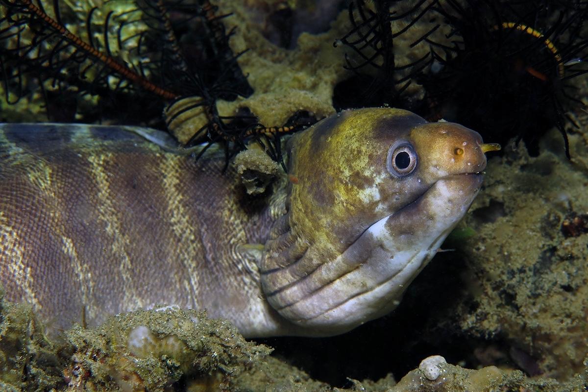 Echidna polyzona    , 安汶 Ambon 印度尼西亚 Indonesia @lazydiving.com 潜水时光