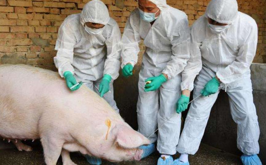 猪猪防疫.png