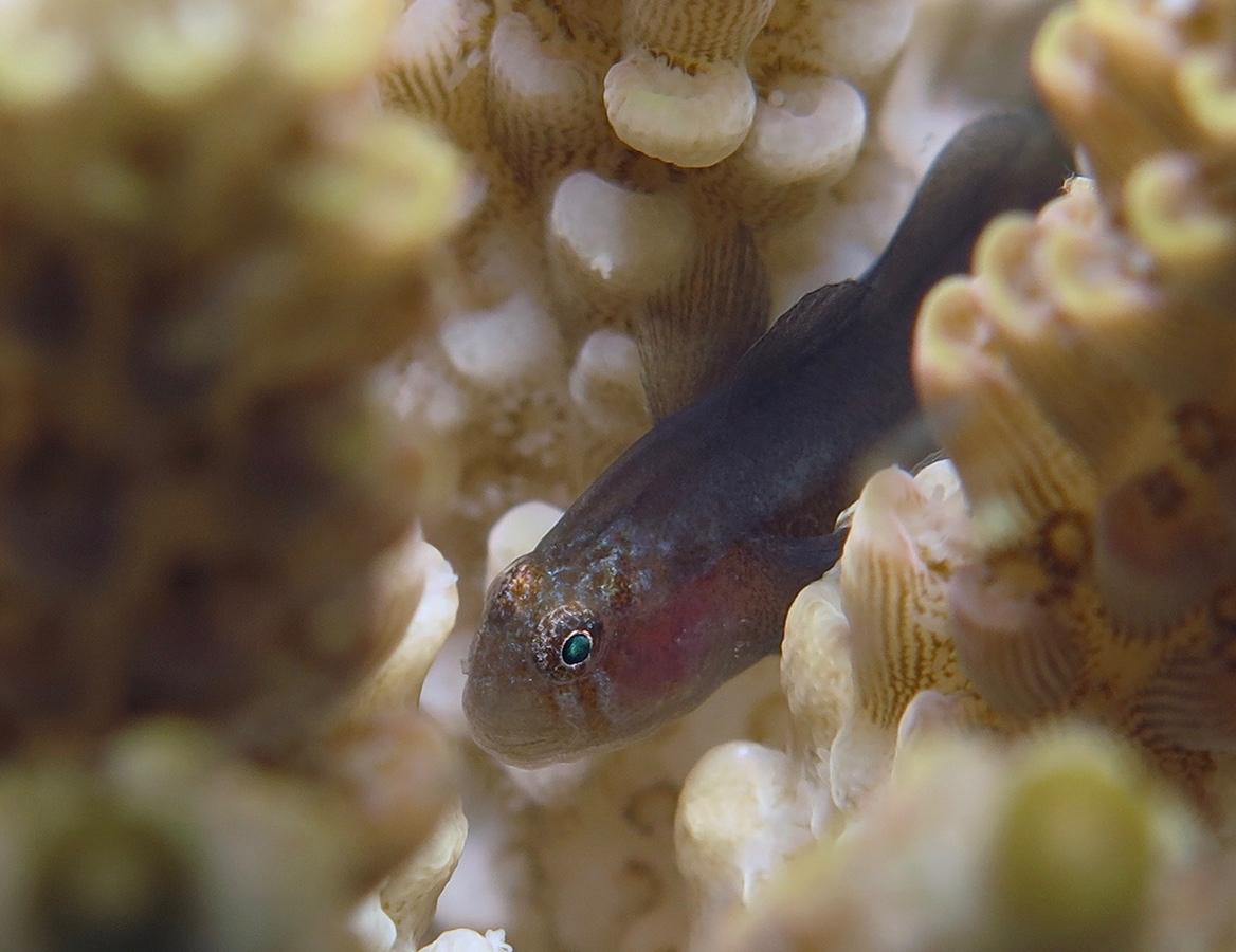 Gobiodon sp   硬珊瑚虾虎鱼  安汶 Ambon 印度尼西亚 Indonesia @lazydiving.com 潜水时光
