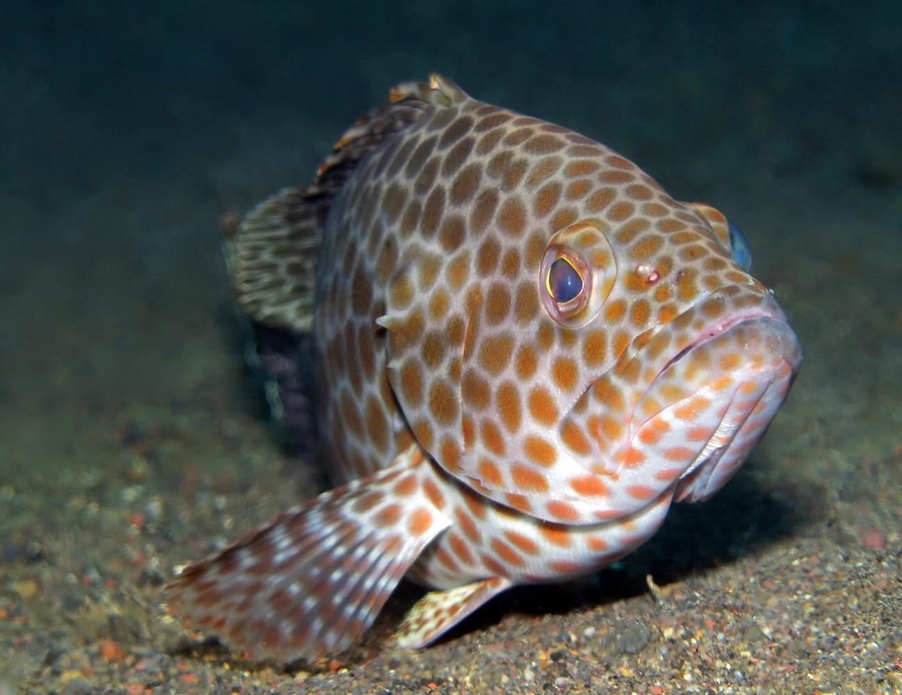 Epinephelus areolatus     巴厘岛艾湄湾 Amed Bay 印度尼西亚 Indonesia @lazydiving.com 潜水时光