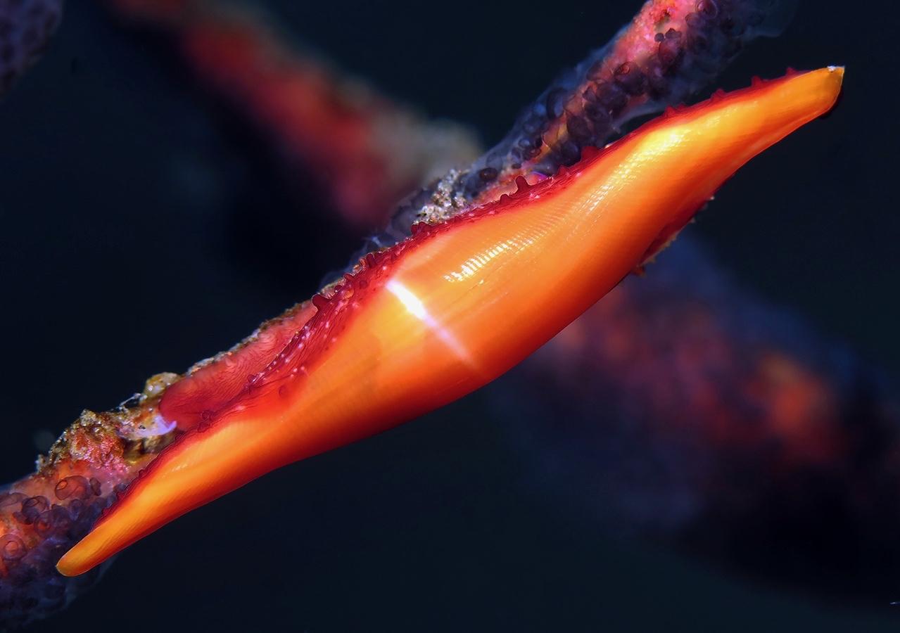 Phenacovolva rosea     巴厘岛图蓝本 Tulamben 印度尼西亚 Indonesia @lazydiving.com 潜水时光