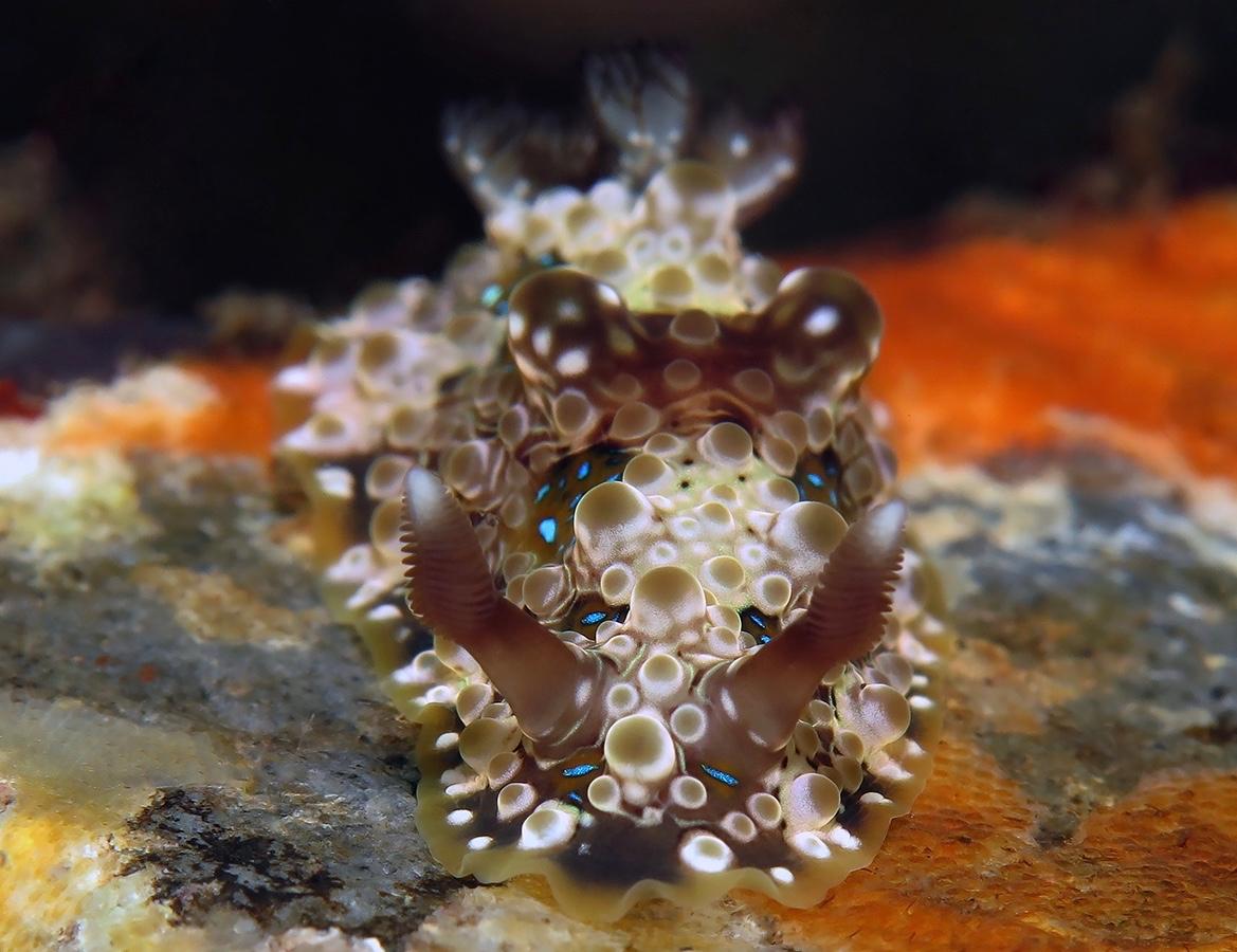 Dendrodoris krusensternii     巴厘岛图蓝本 Tulamben 印度尼西亚 Indonesia @lazydiving.com 潜水时光
