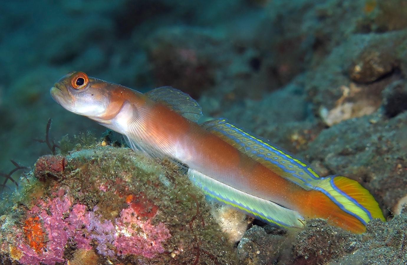 Amblyeleotris yanoi     巴厘岛图蓝本 Tulamben 印度尼西亚 Indonesia @lazydiving.com 潜水时光