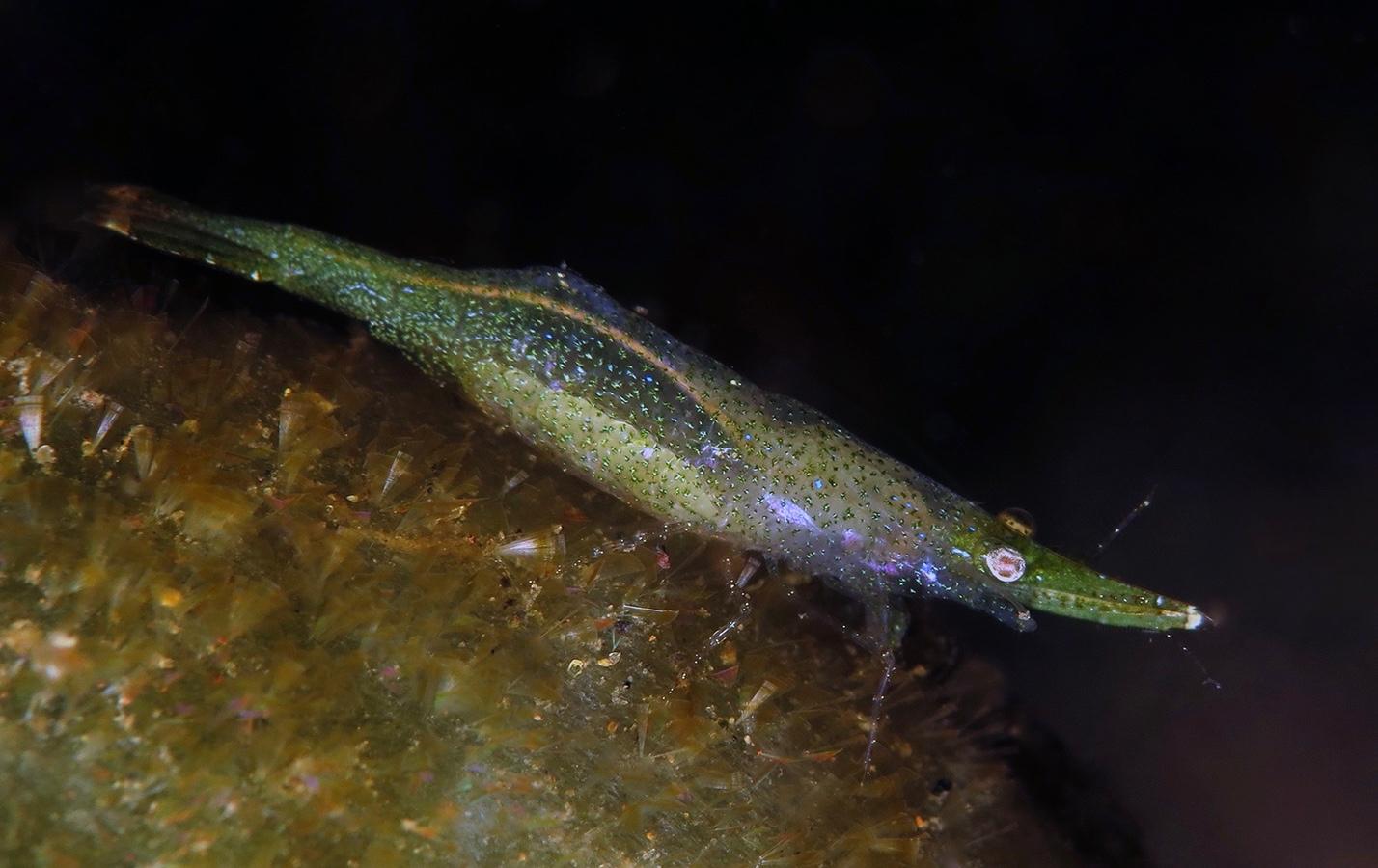 Latreutes pymoeus     巴厘岛艾湄湾 Amed Bay 印度尼西亚 Indonesia @lazydiving.com 潜水时光