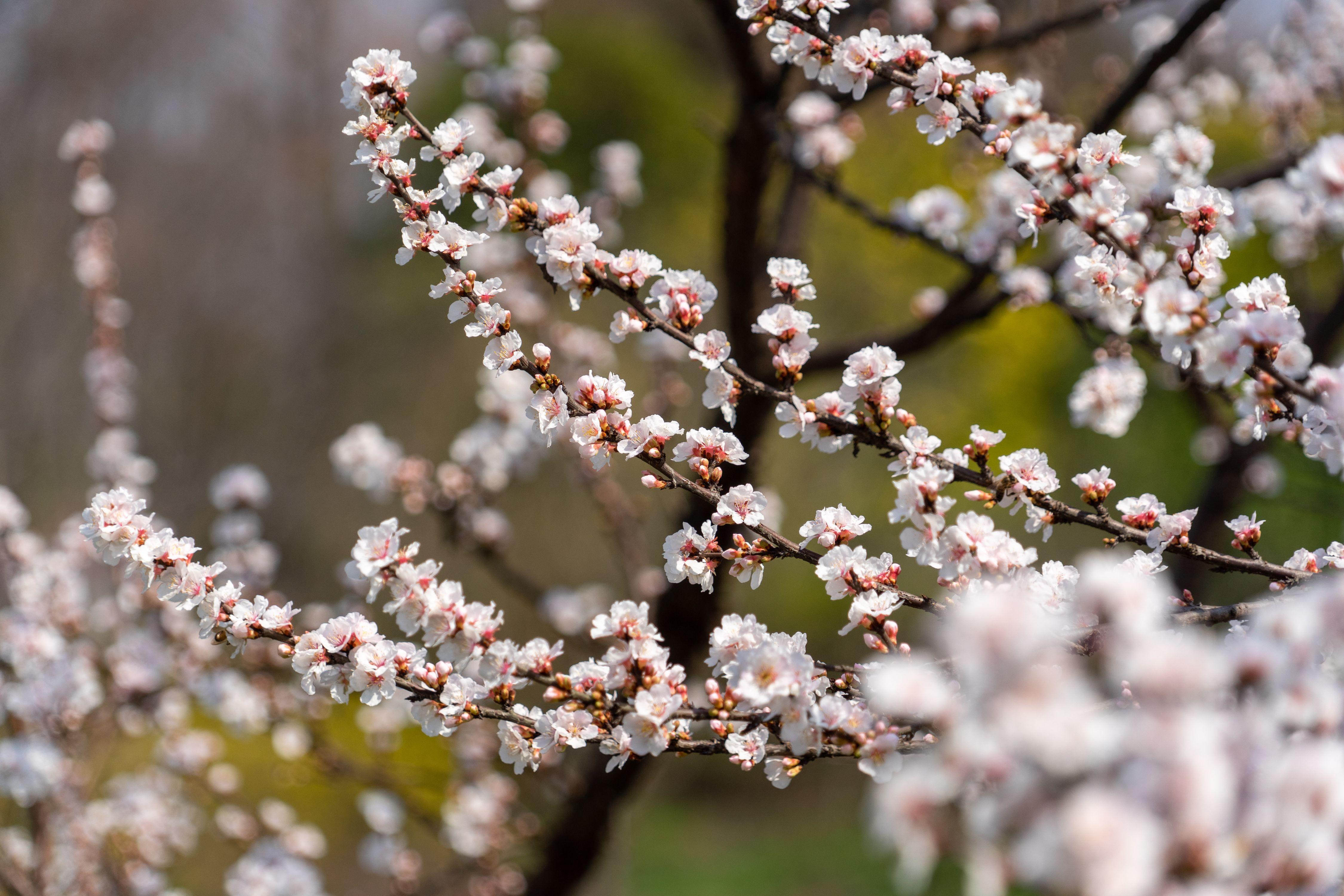 单瓣榆叶梅