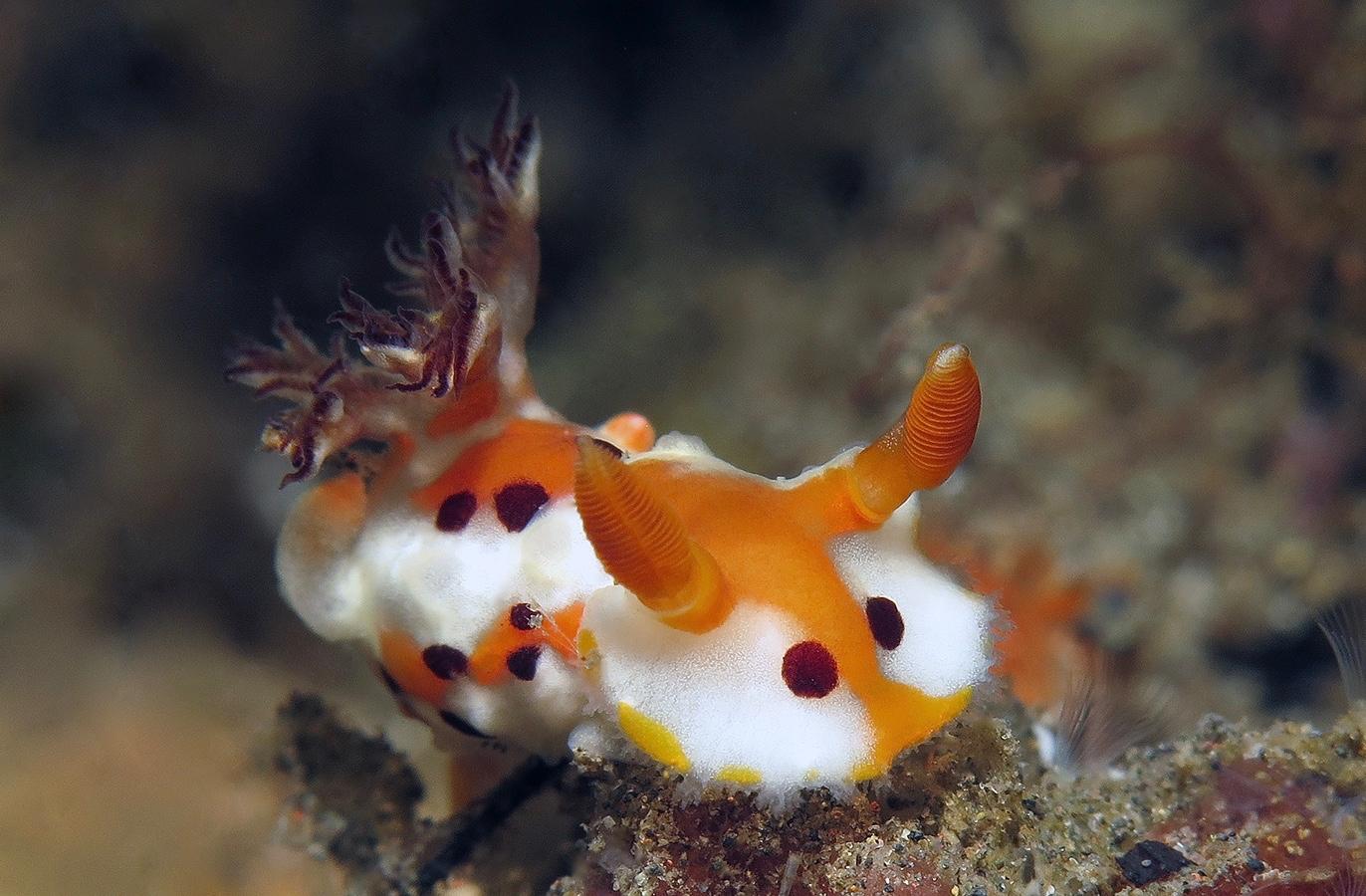Plocamopherus margaretae   卷毛海蛞蝓  巴厘岛艾湄湾 Amed Bay 印度尼西亚 Indonesia @lazydiving.com 潜水时光