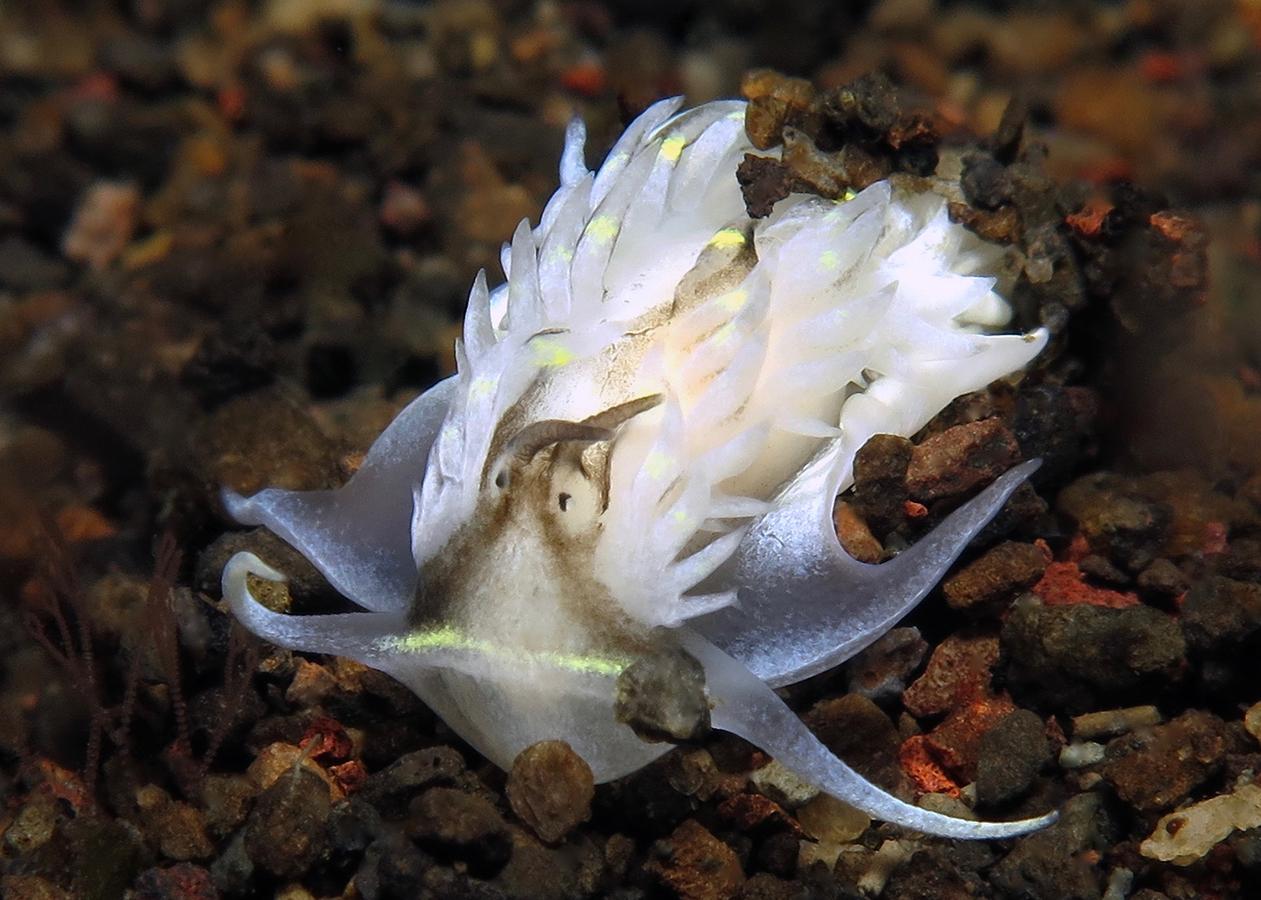 Cerberilla sp   阔足属海蛞蝓  巴厘岛艾湄湾 Amed Bay 印度尼西亚 Indonesia @lazydiving.com 潜水时光