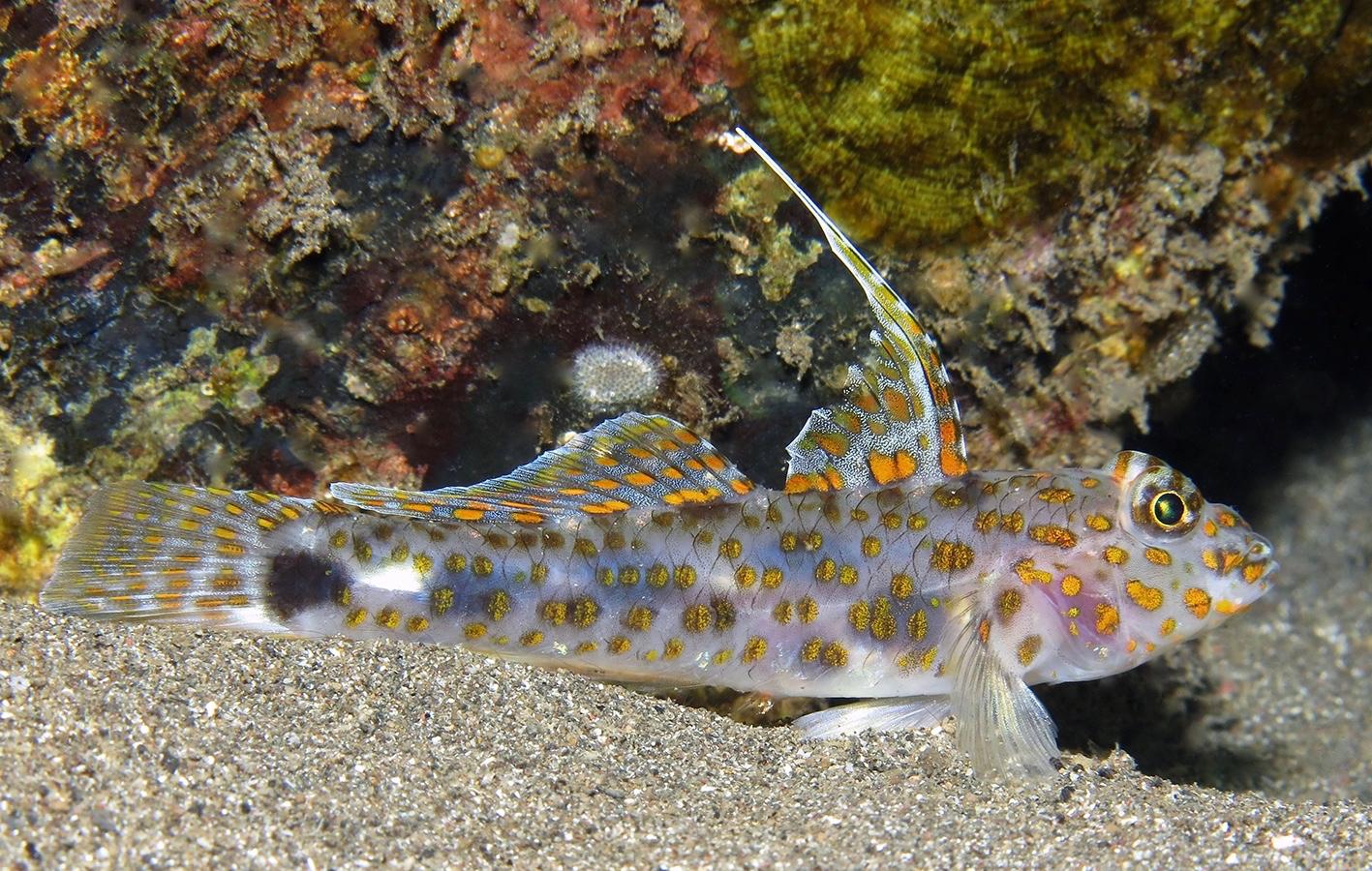 Fusigobius inframaculatus     巴厘岛艾湄湾 Amed Bay 印度尼西亚 Indonesia @lazydiving.com 潜水时光