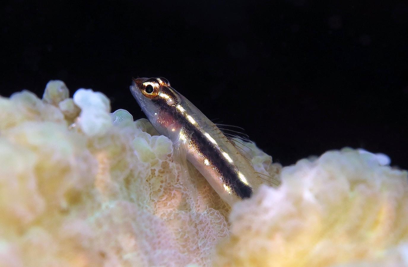 Eviota sebreei     巴厘岛艾湄湾 Amed Bay 印度尼西亚 Indonesia @lazydiving.com 潜水时光