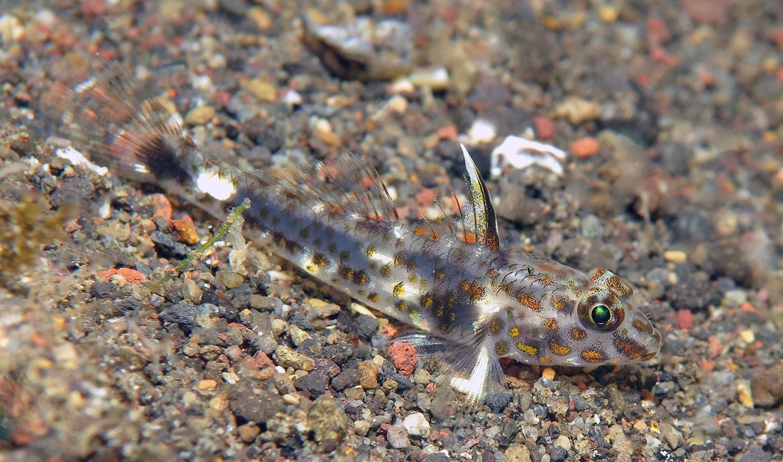 Fusigobius inframaculatus   下斑纺锤虾虎(Female)  巴厘岛艾湄湾 Amed Bay 印度尼西亚 Indonesia @lazydiving.com 潜水时光