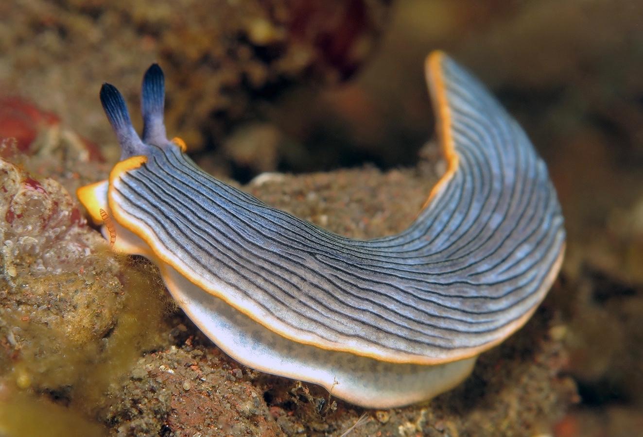 Dermatobranchus sp   未被描述的片鳃海蛞蝓  巴厘岛图蓝本 Tulamben 印度尼西亚 Indonesia @lazydiving.com 潜水时光