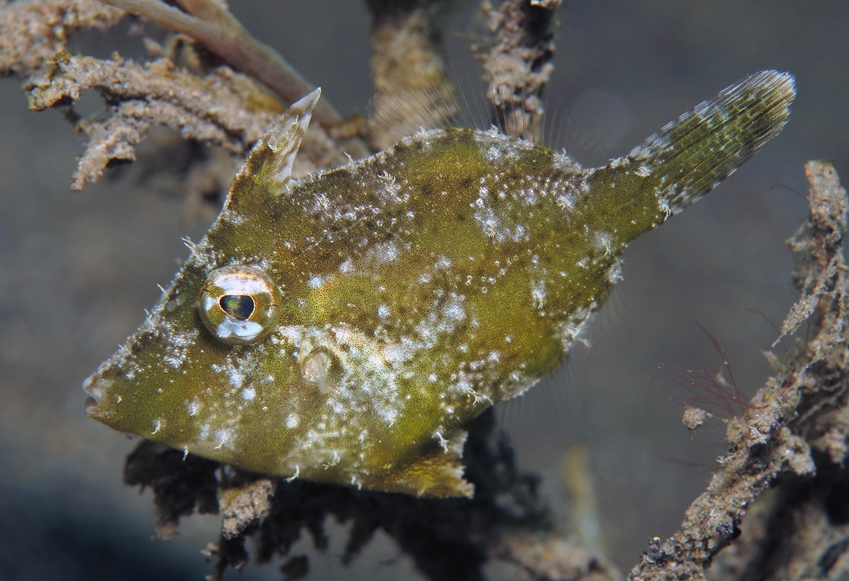 Acreichthys tomentosus    , 巴厘岛艾湄湾 Amed Bay 印度尼西亚 Indonesia @lazydiving.com 潜水时光