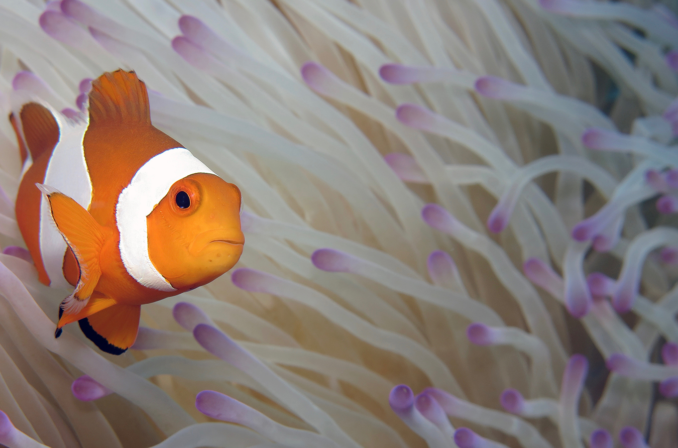 Amphiprion ocellaris    , 巴厘岛艾湄湾 Amed Bay 印度尼西亚 Indonesia @lazydiving.com 潜水时光