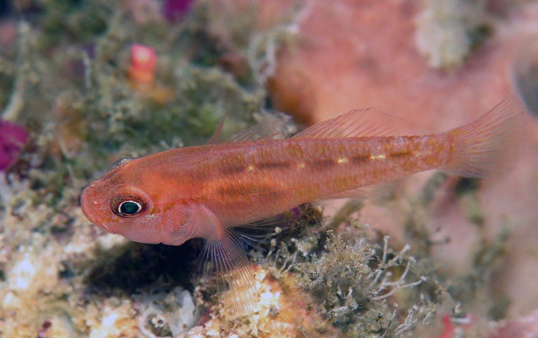 Trimma sp   侏儒虾虎鱼(Pygmygoby)   巴厘岛艾湄湾 Amed Bay 印度尼西亚 Indonesia @lazydiving.com 潜水时光