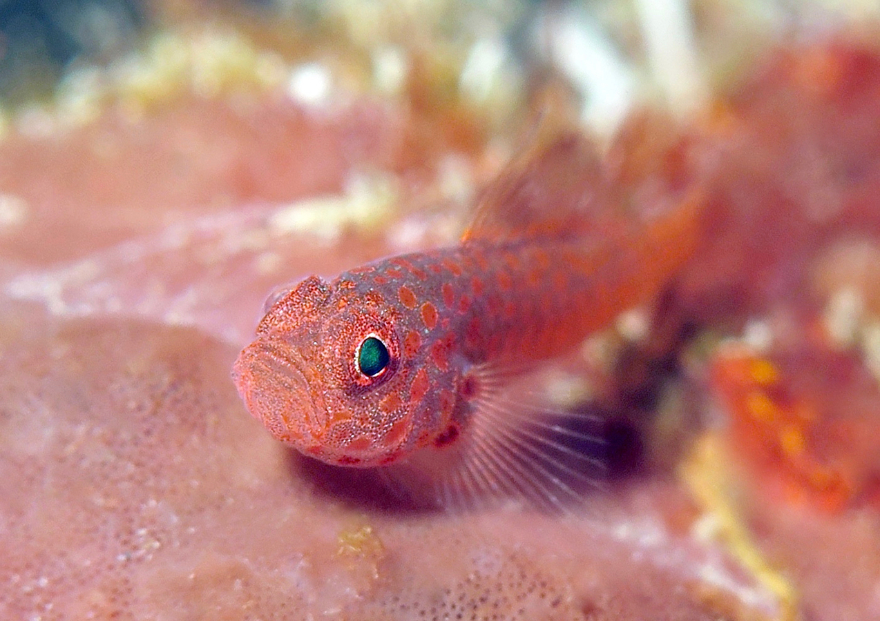 Trimma Macrophthalmus     巴厘岛艾湄湾 Amed Bay 印度尼西亚 Indonesia @lazydiving.com 潜水时光