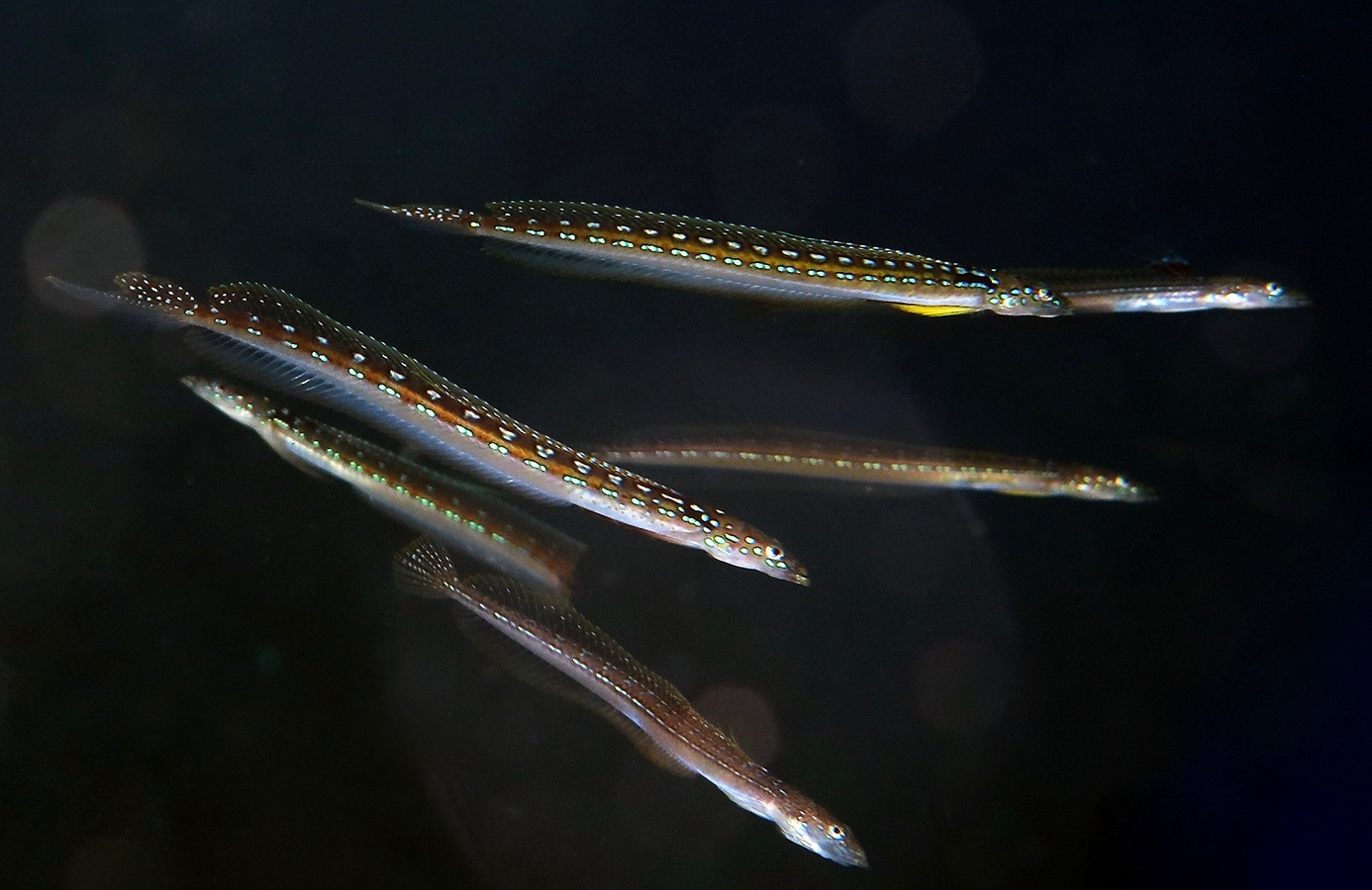 Trichonotus elegans    , 巴厘岛艾湄湾 Amed Bay 印度尼西亚 Indonesia @lazydiving.com 潜水时光