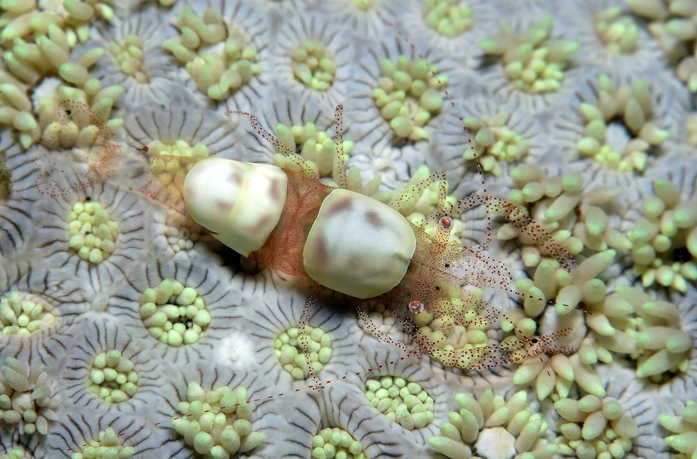 Hamopontonia corallicola    , 巴厘岛图蓝本 Tulamben 印度尼西亚 Indonesia @lazydiving.com 潜水时光