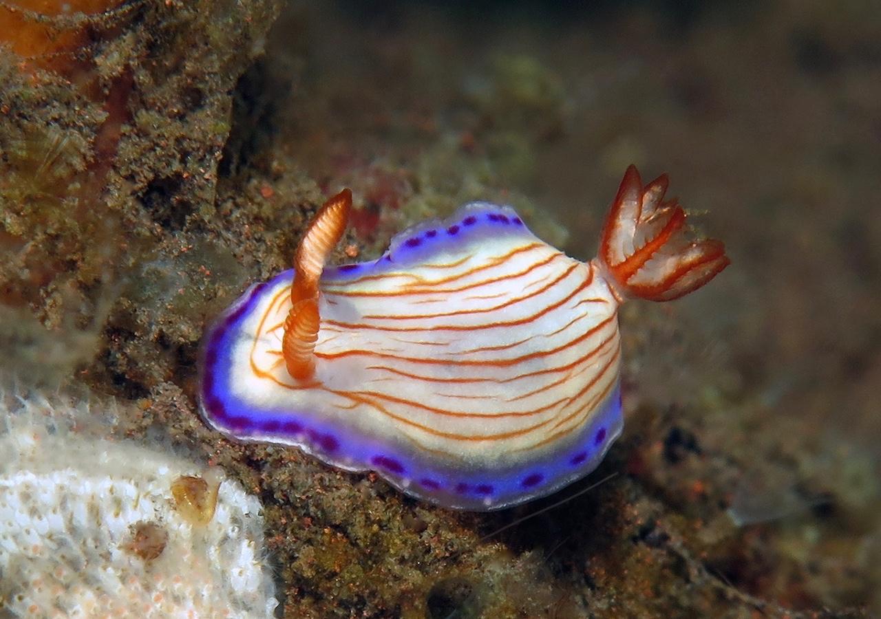 Hypselodoris katherinae    , 巴厘岛图蓝本 Tulamben 印度尼西亚 Indonesia @lazydiving.com 潜水时光