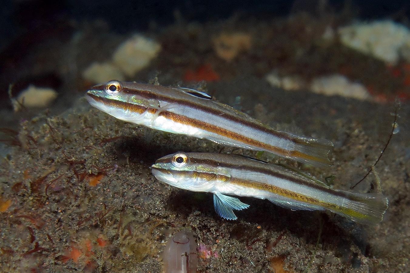 Valenciennea helsdingenii     巴厘岛图蓝本 Tulamben 印度尼西亚 Indonesia @lazydiving.com 潜水时光