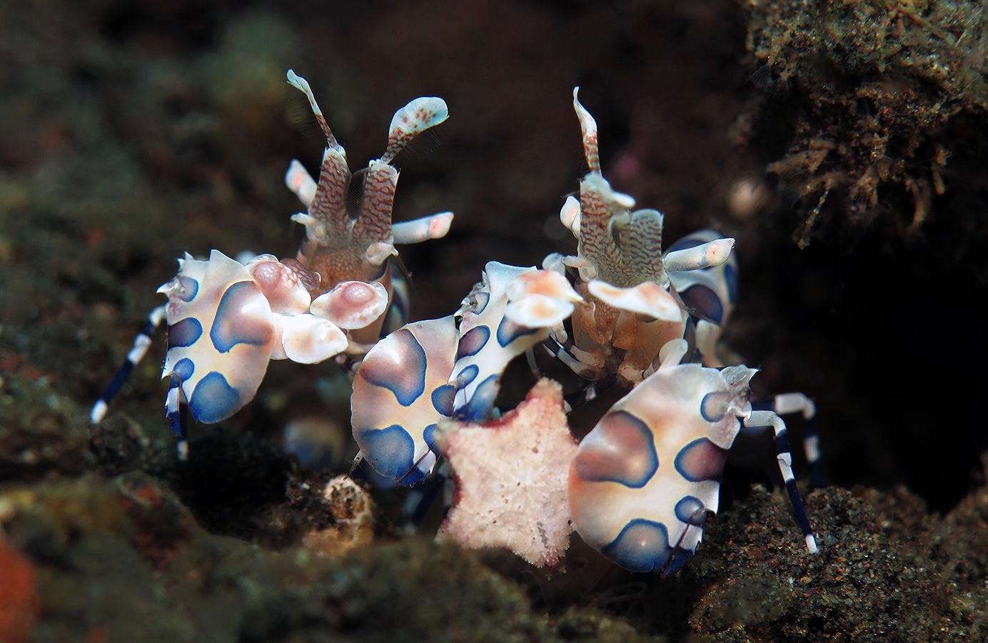 Hymenocera picta    , 巴厘岛图蓝本 Tulamben 印度尼西亚 Indonesia @lazydiving.com 潜水时光