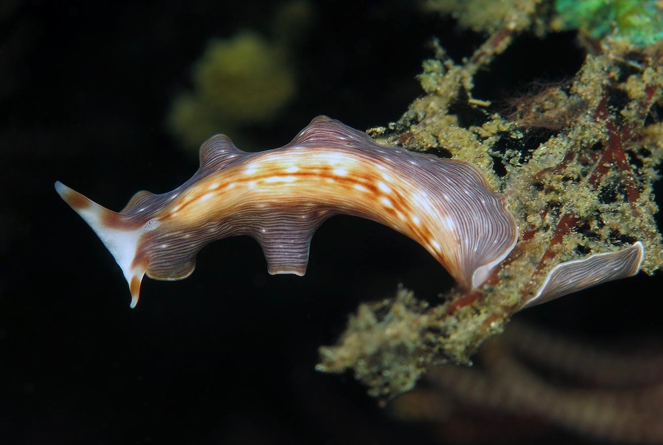 Prostheceraeus sp   条纹扁虫(Striped Flatworm)  巴厘岛图蓝本 Tulamben 印度尼西亚 Indonesia @lazydiving.com 潜水时光