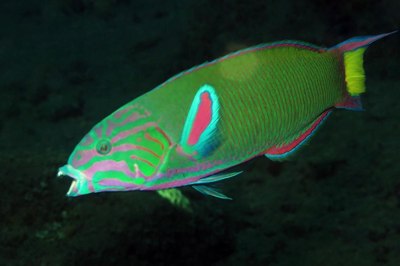 Thalassoma lunare     巴厘岛图蓝本 Tulamben 印度尼西亚 Indonesia @lazydiving.com 潜水时光