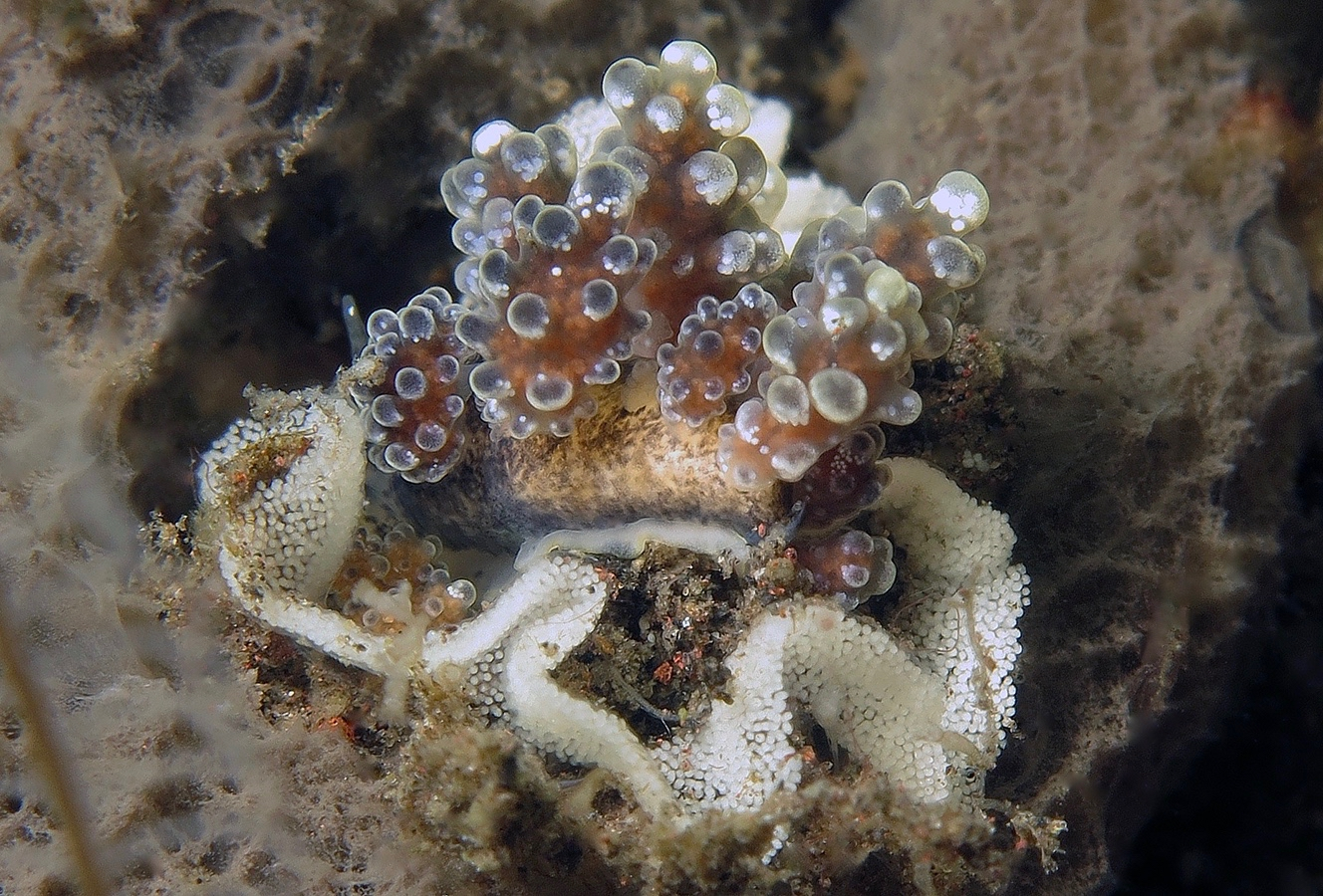 Doto sp   豆豆海蛞蝓  巴厘岛图蓝本 Tulamben 印度尼西亚 Indonesia @lazydiving.com 潜水时光