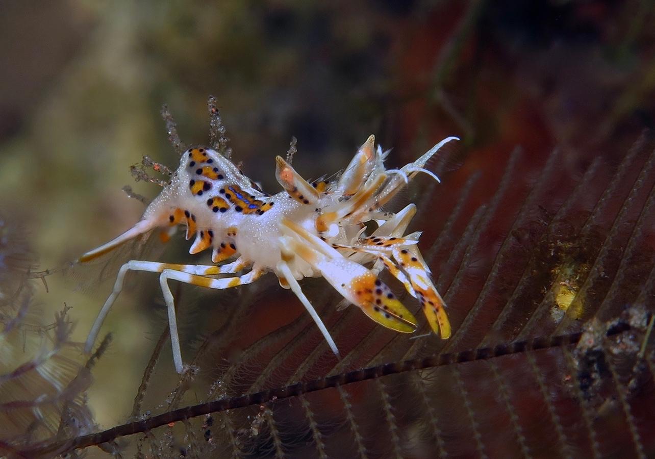 Phyllognathia ceratophthalma    , 巴厘岛图蓝本 Tulamben 印度尼西亚 Indonesia @lazydiving.com 潜水时光