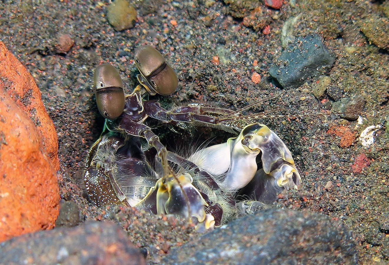 Lysiosquillina maculata     巴厘岛图蓝本 Tulamben 印度尼西亚 Indonesia @lazydiving.com 潜水时光