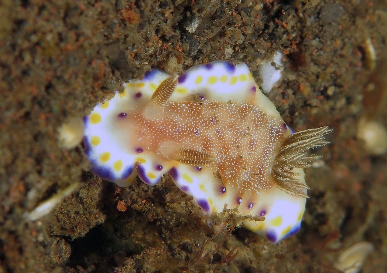 Goniobranchus collingwoodi     巴厘岛图蓝本 Tulamben 印度尼西亚 Indonesia @lazydiving.com 潜水时光