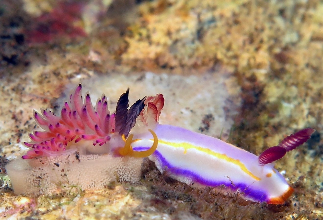 Thorunna florens    , 巴厘岛图蓝本 Tulamben 印度尼西亚 Indonesia @lazydiving.com 潜水时光